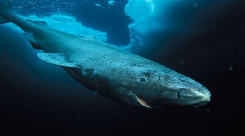 Grönland'da 512 yaşında bir köpek balığı tespit edildi
