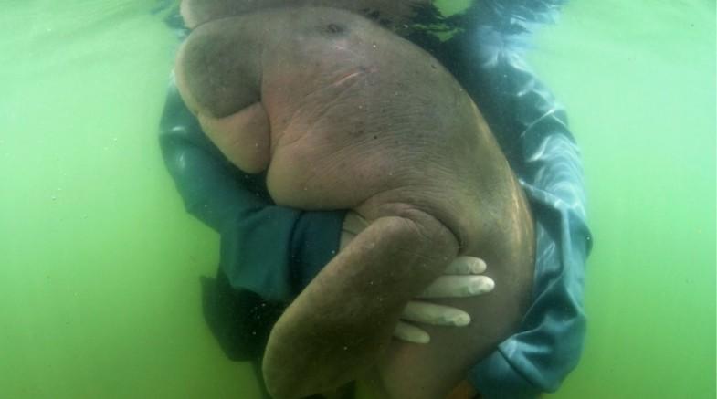 Nesli tükenme tehlikesi altında olan deniz ineği yediği plastik yüzünden öldü